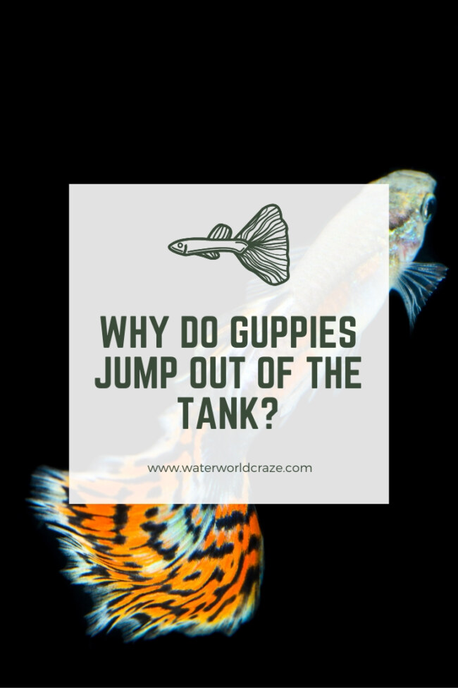 Why do guppies jump out of the tank?