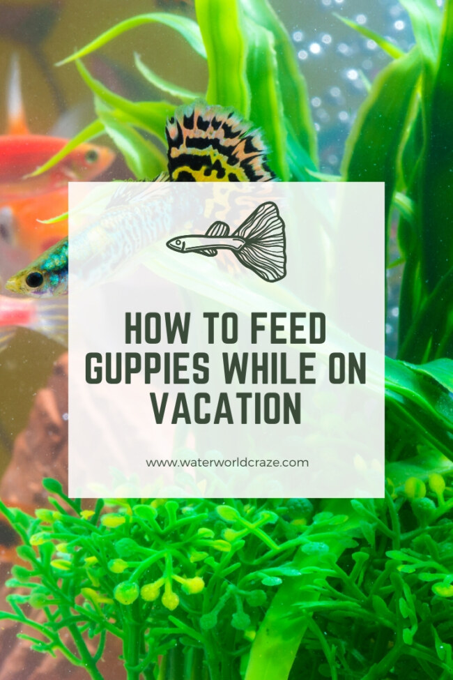 how to feed guppies while on vacation?