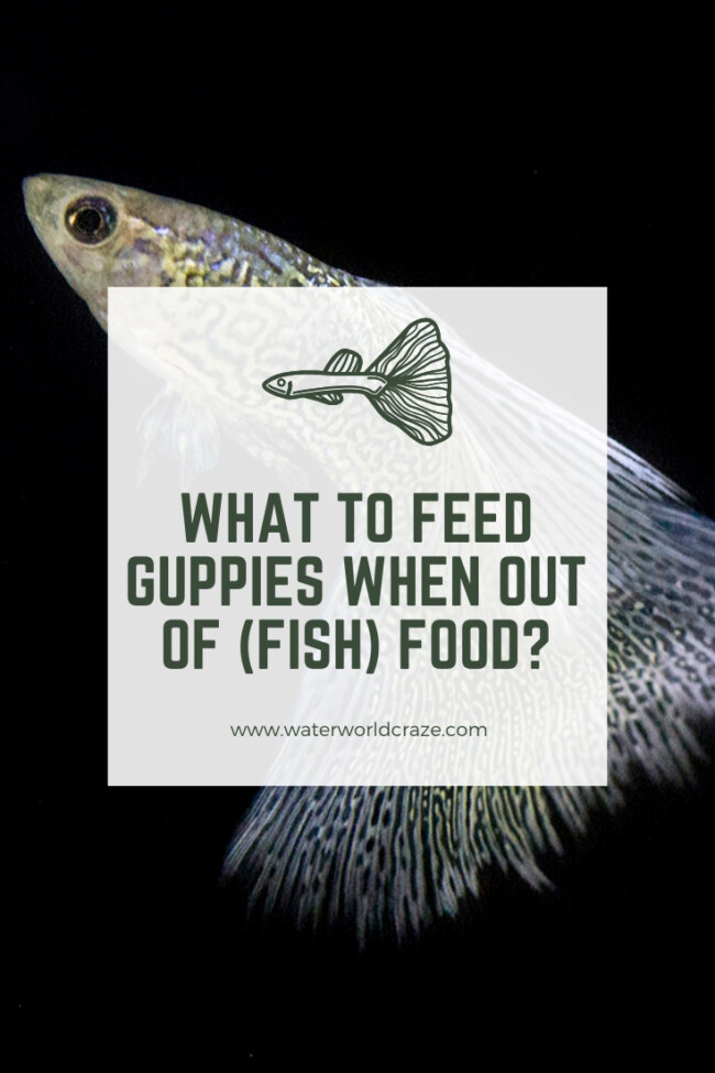 What to feed Guppies when out of fish food?