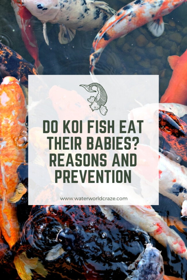 Do koi fish eat their babies?