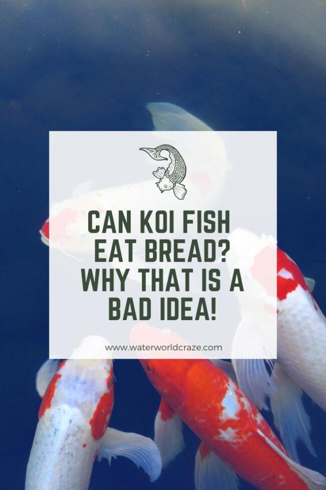 Can koi fish eat bread?