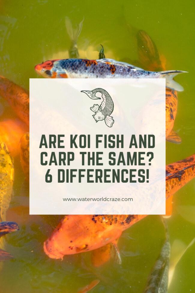 Are koi fish and carp the same?