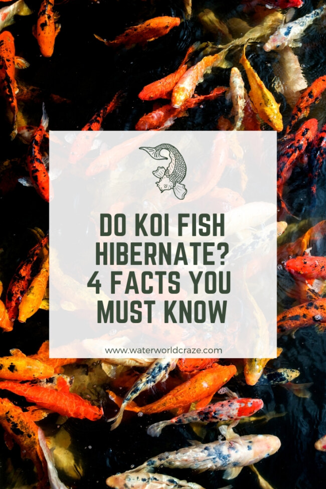 Do koi fish hibernate?