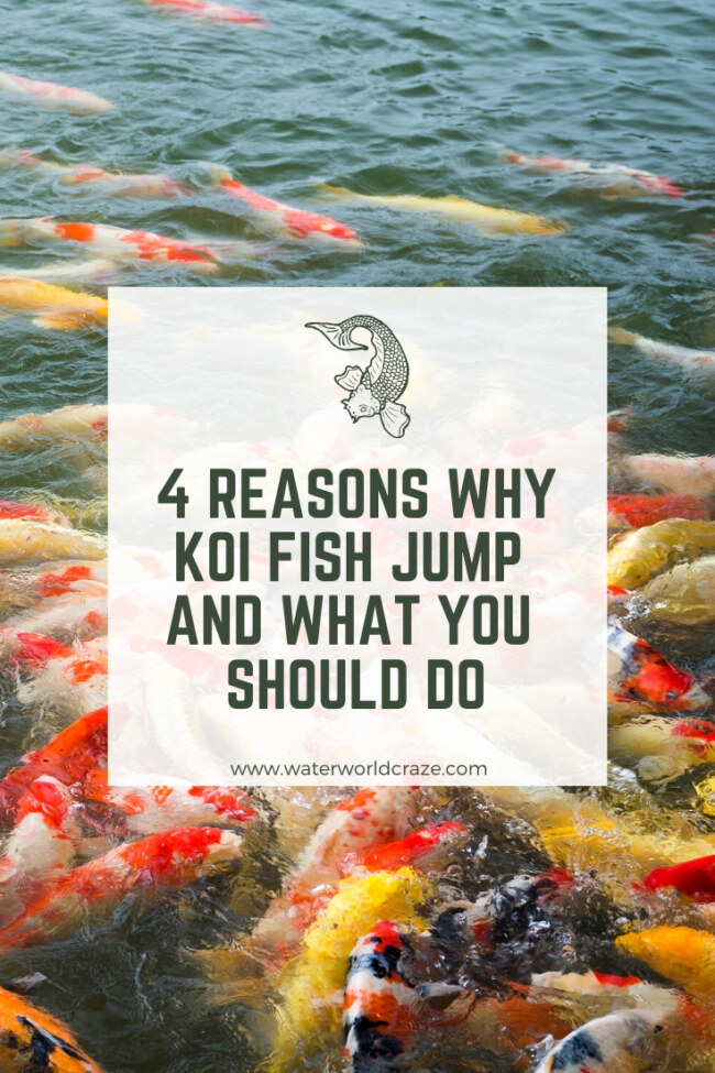 why do koi fish jump?