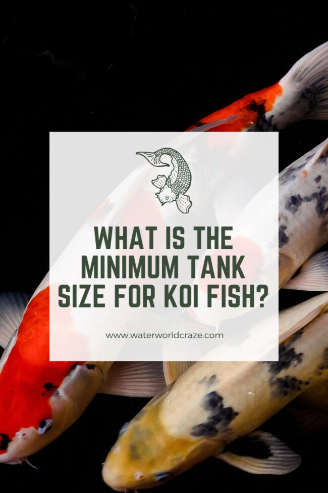 What is the minimum tank size for koi fish?