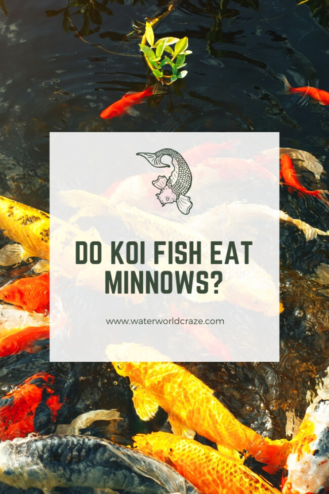 Do koi fish eat minnows?