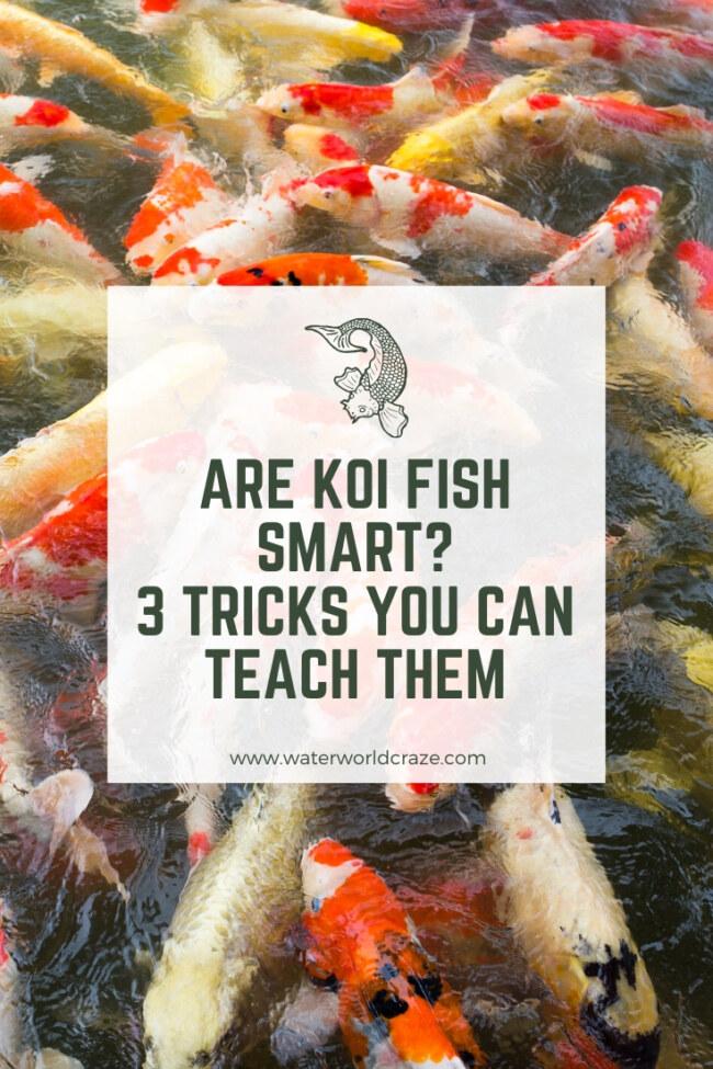 Are koi fish smart?