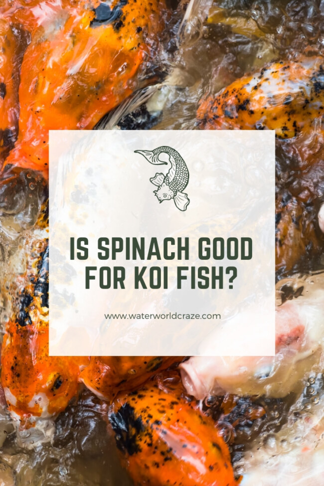 Can koi fish eat spinach?