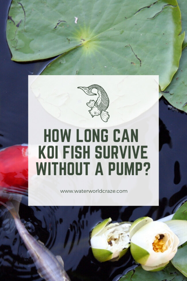 How long can koi fish survive without a pump?