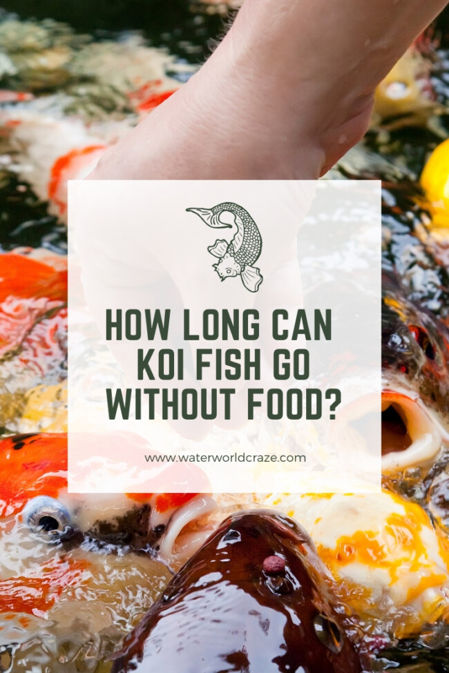 how long can koi fish go without food?