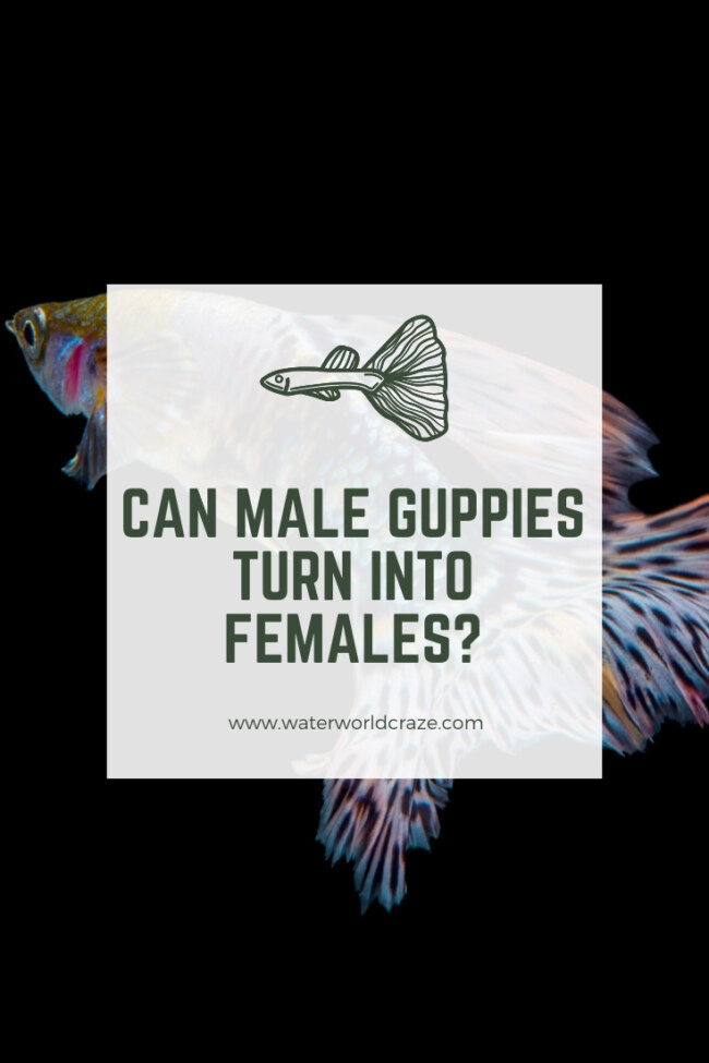 Can male guppies turn into female?