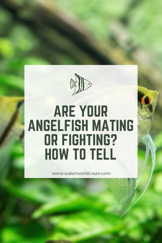Are my angelfish mating or fighting?