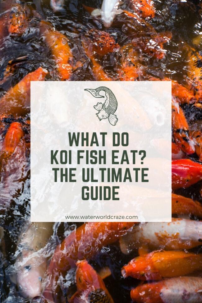 What do koi fish eat?