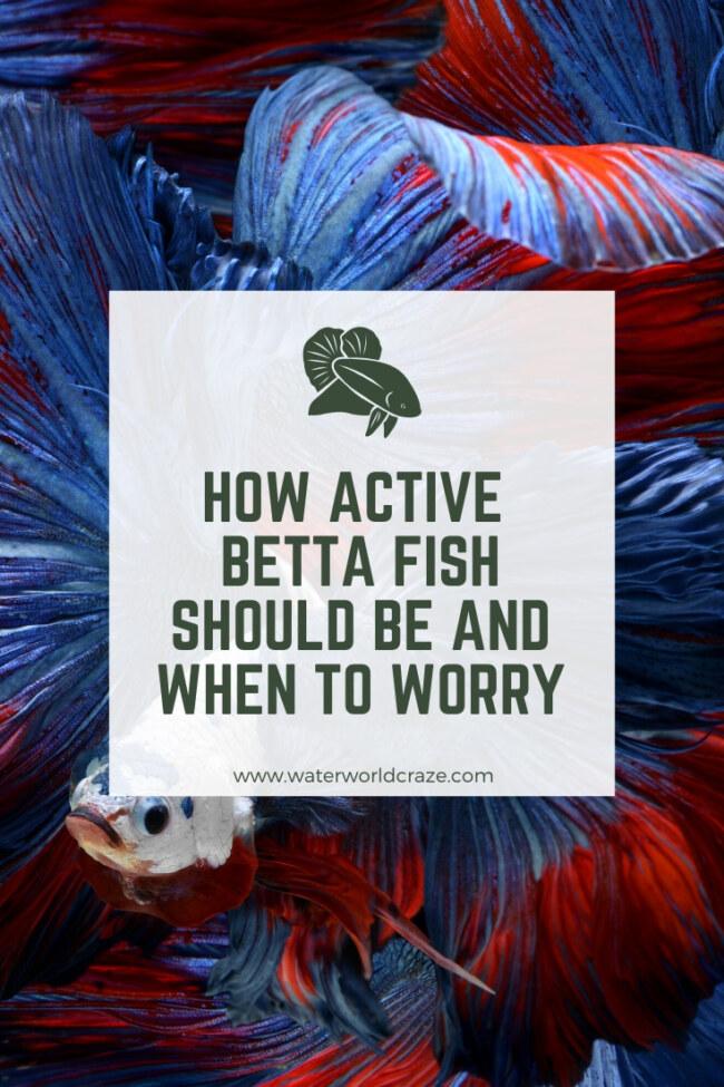 Are betta fish active?