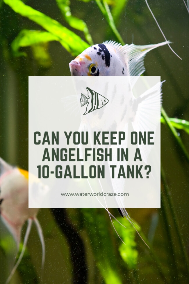 Can you keep one angelfish in a 10-gallon tank?