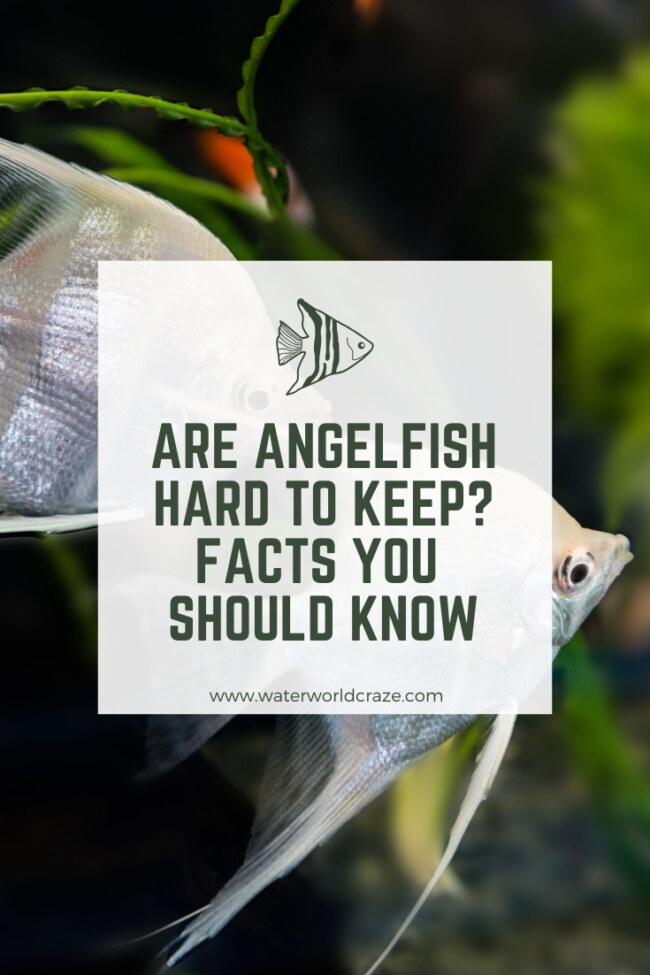 Are angelfish hard to keep?