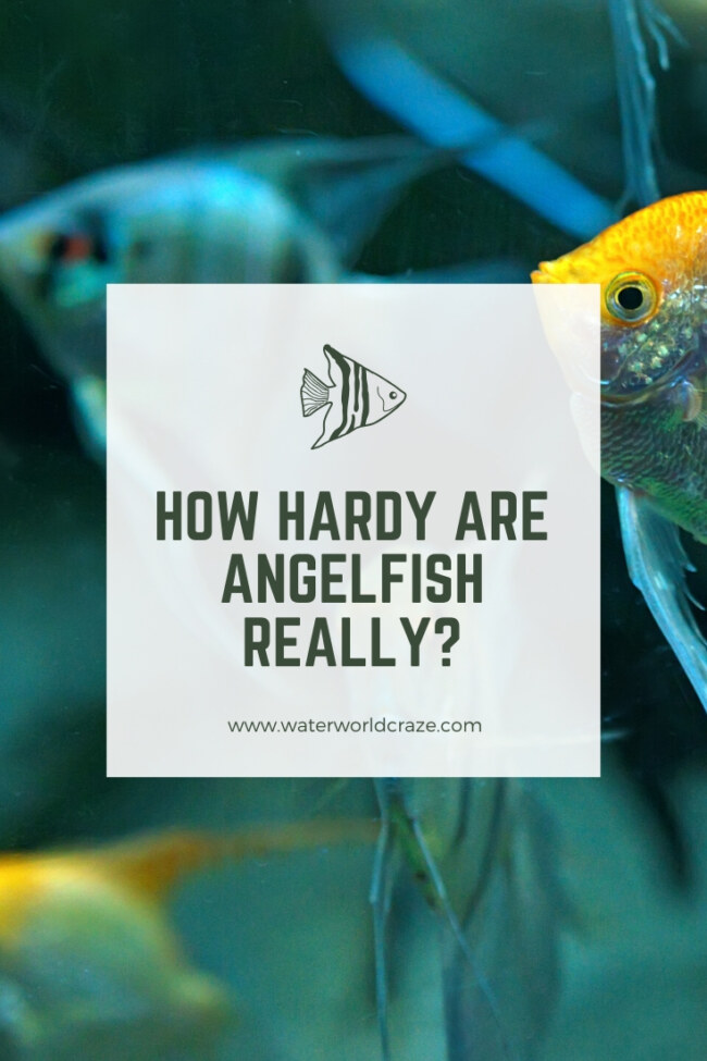 Are angelfish hardy?