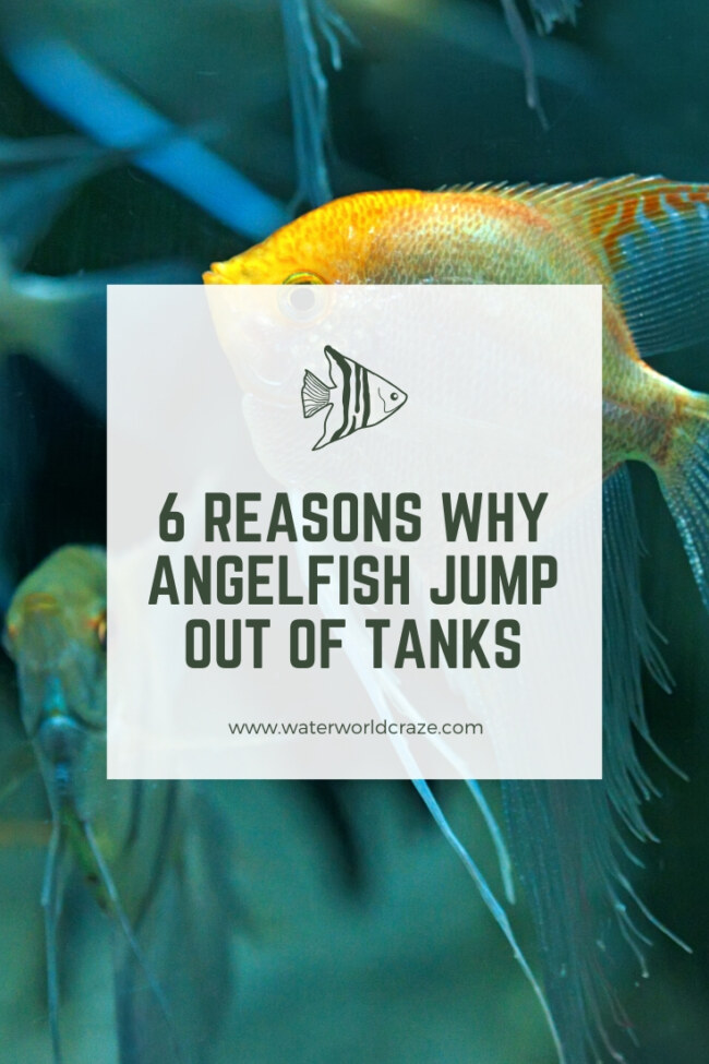 Do Angelfish Jump Out Of Tanks?
