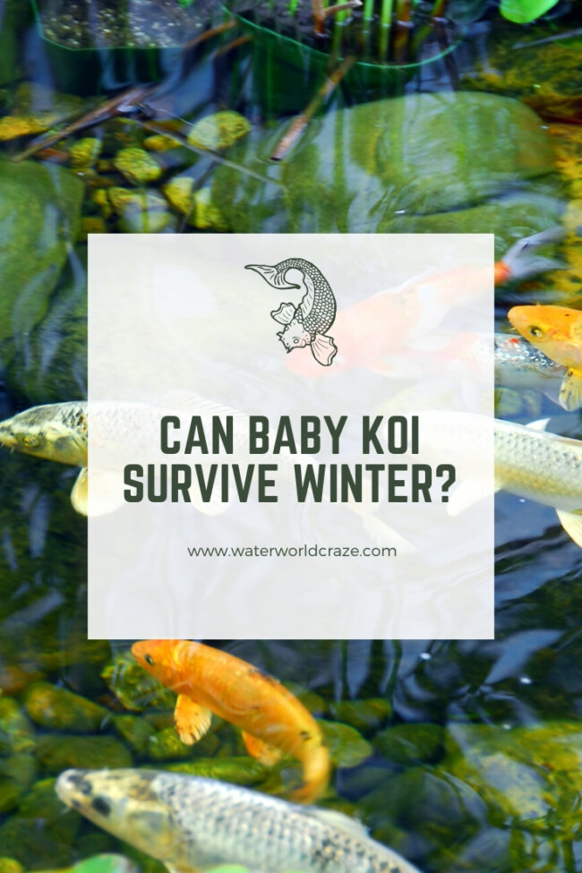Can baby koi survive winter?