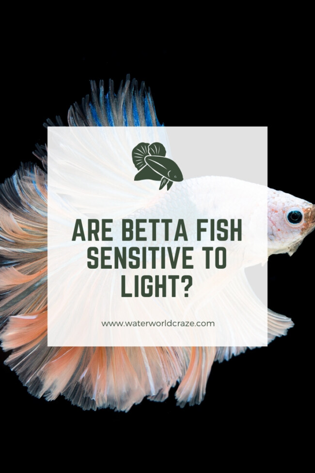 Are betta fish sensitive to light?
