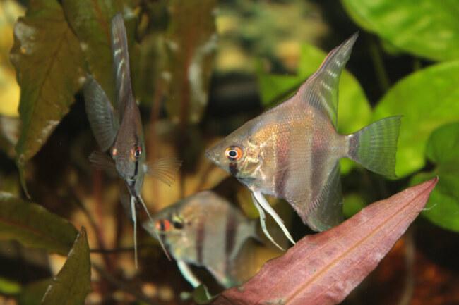 is keeping angelfish hard?