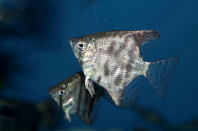 is keeping angelfish easy?
