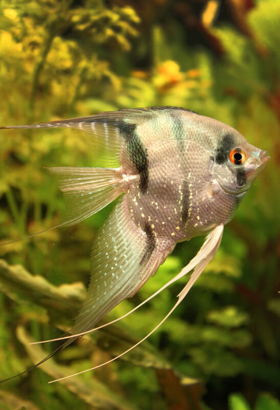 Why do angelfish jump out of the tank?