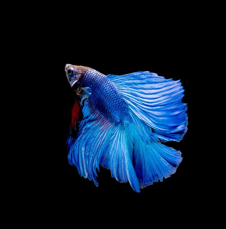 Do betta fish die easily?