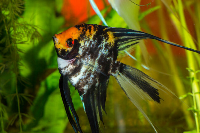 How to prevent my angelfish from jumping out of the tank