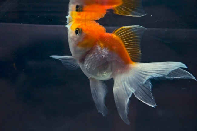 do goldfish remember their owners?