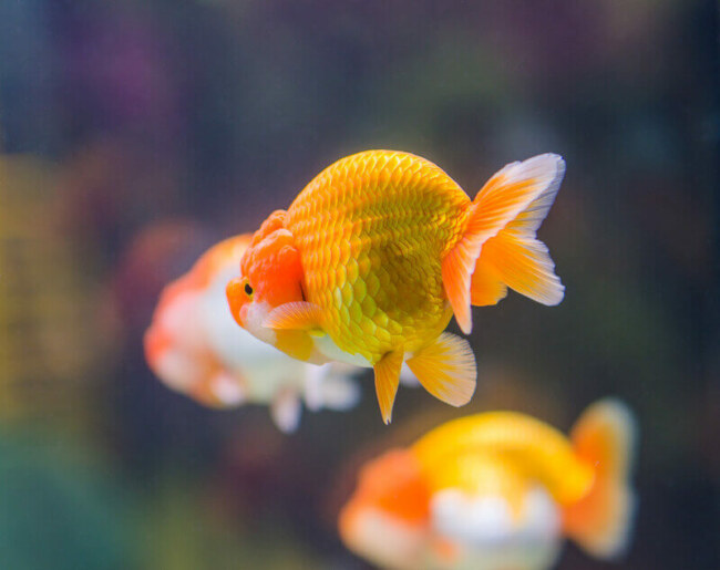 why do goldfish hide?