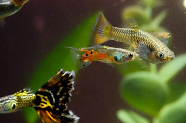 is brine shrimp healthy for guppies?