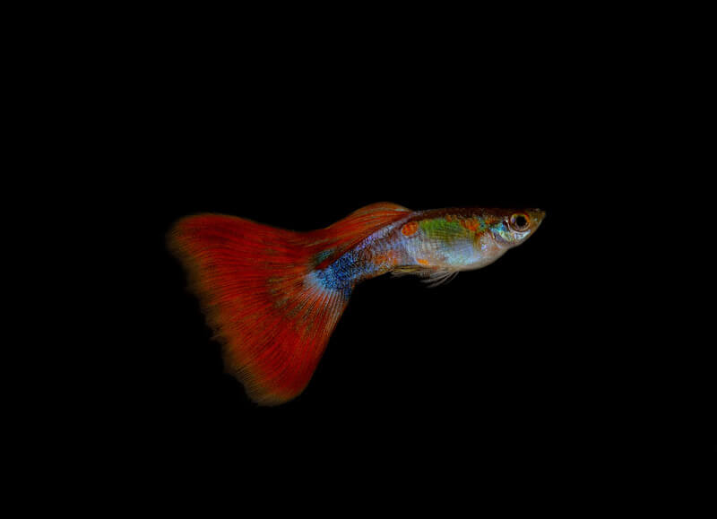 How hardy are guppies really?
