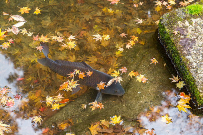 what is the right koi fish temperature range