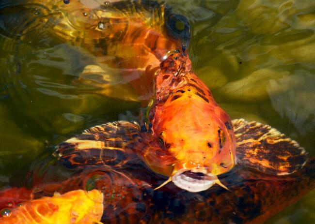 Will a small tank stunk my koi fish's growth?
