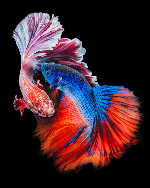 what tank size do betta fish need?