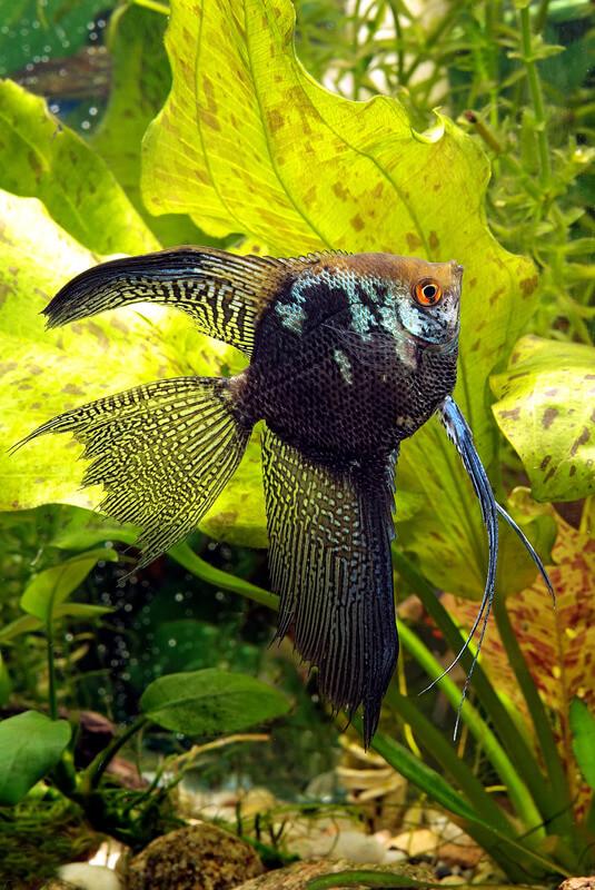 How many gallons do angelfish need?