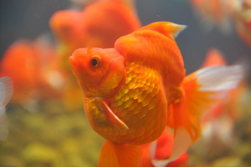 can goldfish perform tricks?