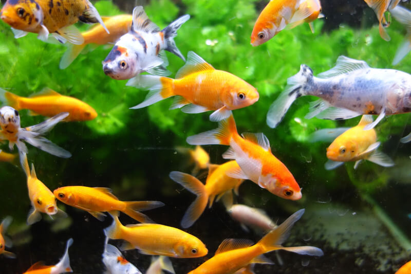 which human food is okay for goldfish?