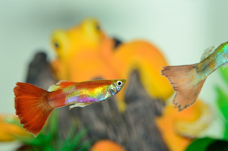 Will male guppies kill each other?