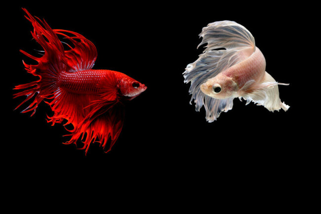 how to stop my fish from fighting?