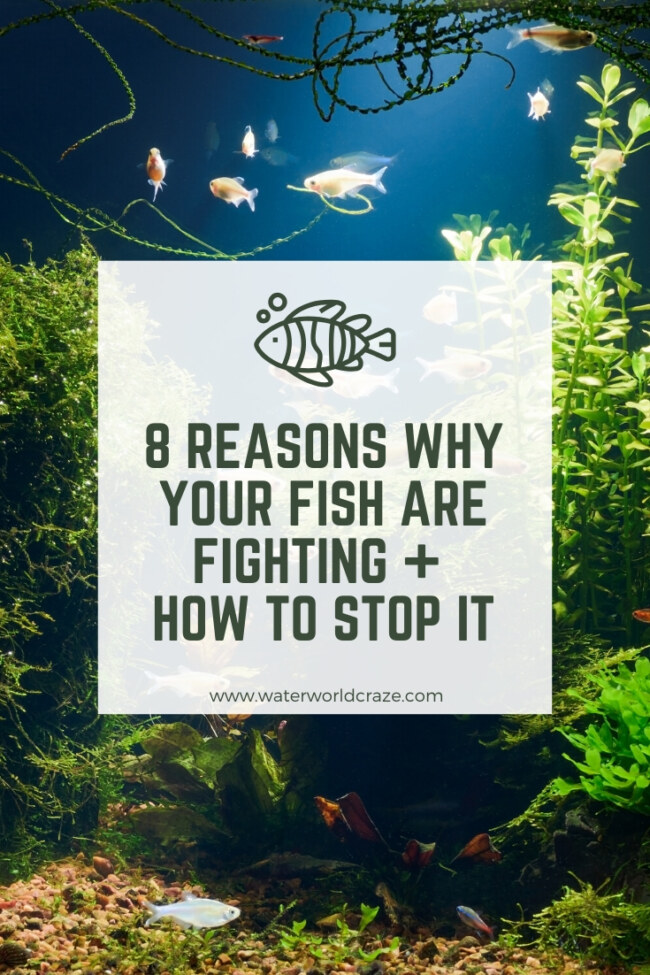 Why are my fish fighting?
