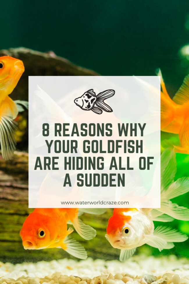 Why are my goldfish hiding all of a sudden?