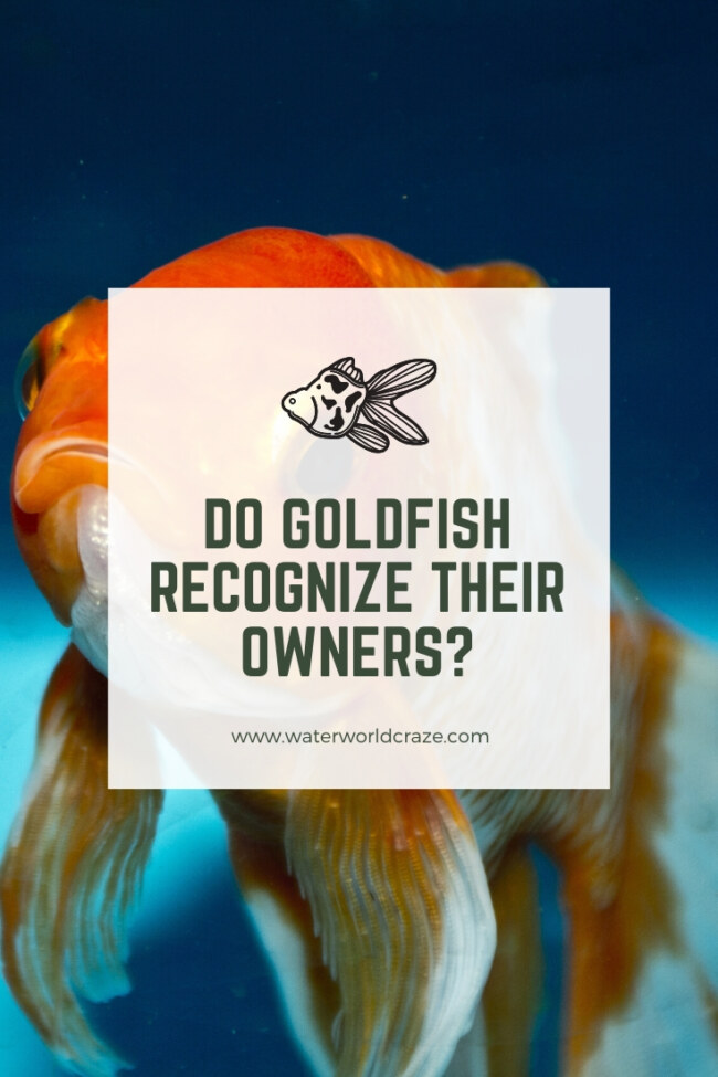 Do goldfish recognize their owners?