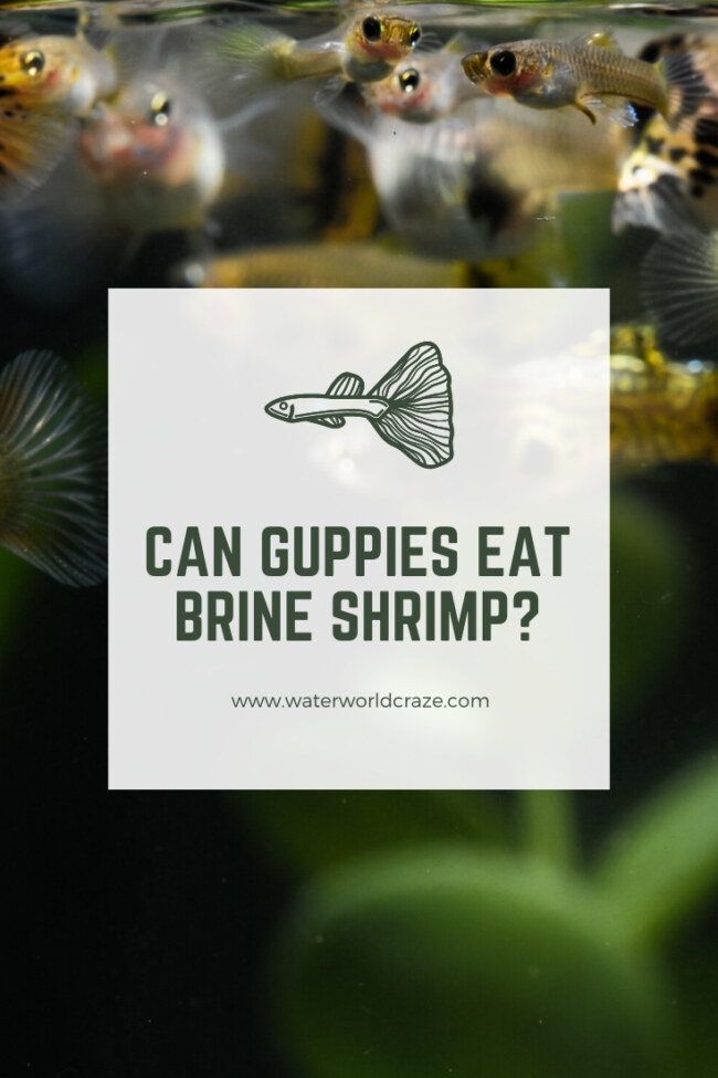 Can guppies eat brine shrimp?
