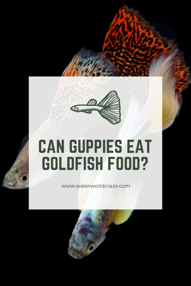 Can guppies eat goldfish food?