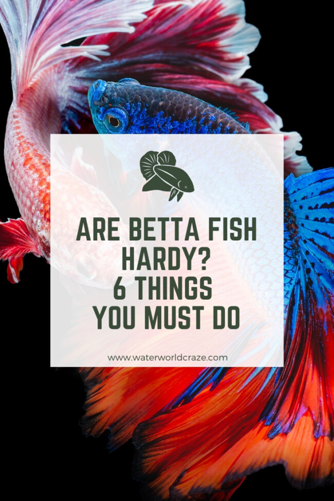Are betta fish hardy?