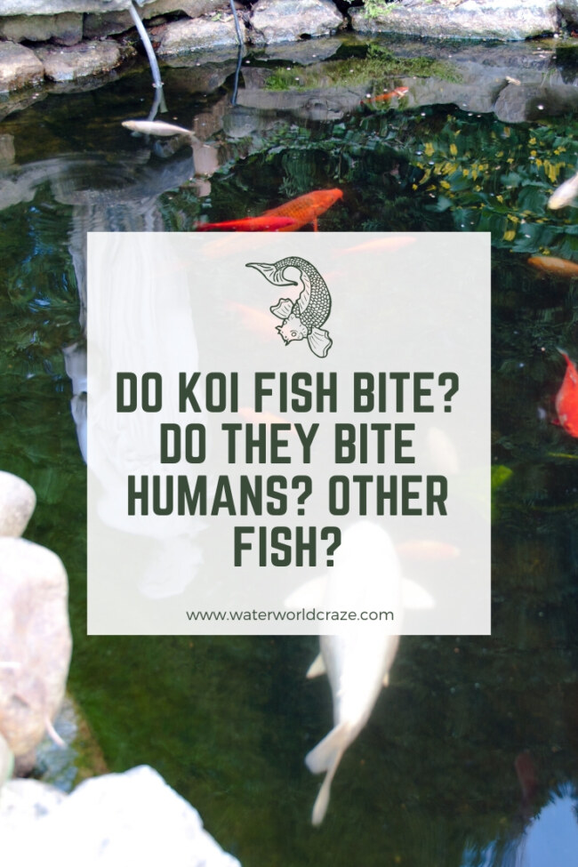 Do koi fish bite?