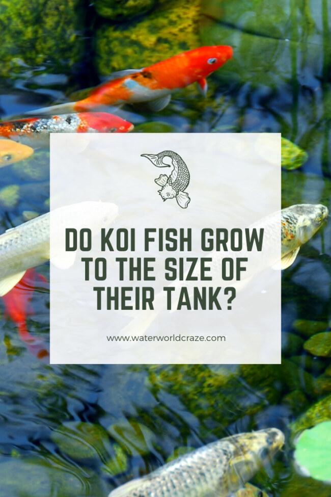 Do koi fish grow to the size of their tank?