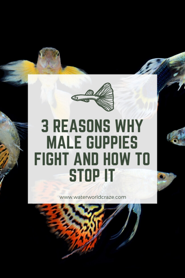 Will male guppies fight?